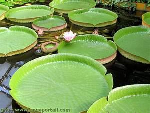 Les Plantes Aquatiques Pour Bassins De Jardin