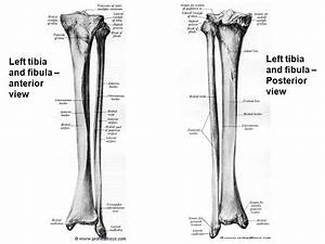Bones Of Lower Limb Hip Bone Femur Tibia Fibula Patella