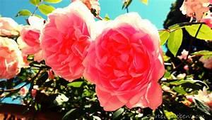 Rosen Schneiden Wann : rosen schneiden praktische tipps f r sch n bl hende rosen ~ Eleganceandgraceweddings.com Haus und Dekorationen