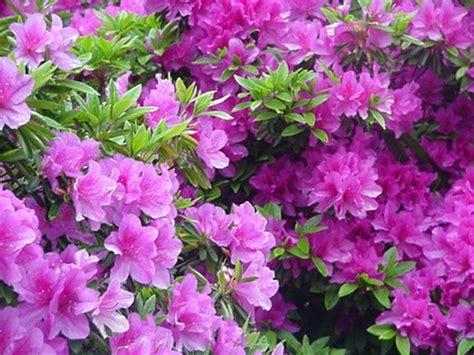 cura azalea in vaso azalea cura piante da giardino azalea cura