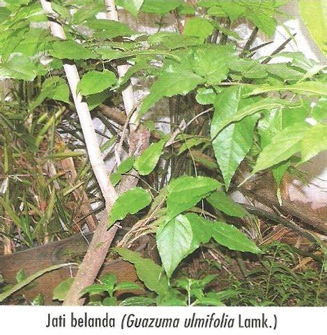 tanaman obat keluarga   nature jati belanda