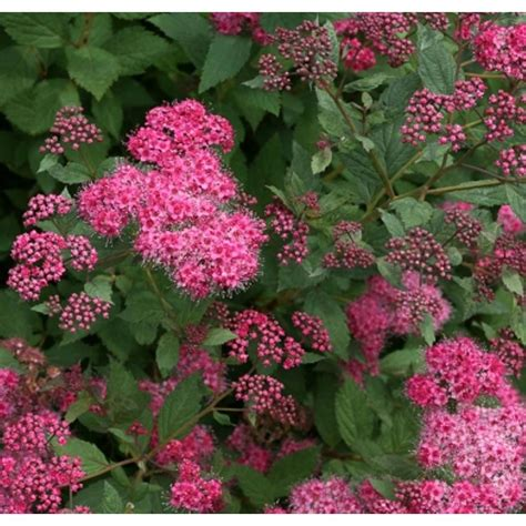 green shrub with pink flowers proven winners double play pink spirea spiraea live shrub pink flowers with red to green