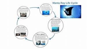 Manta Ray Life Cycle By Ebony Wagenaer On Prezi