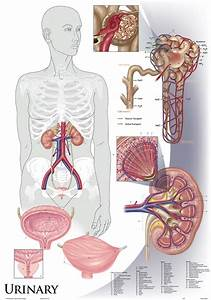 Oversize Anatomy And Physiology Chart Set