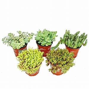 Balkonpflanzen Sonnig Winterhart : 5 verschiedene winterharte sedum pflanzen fetthenne ~ Michelbontemps.com Haus und Dekorationen