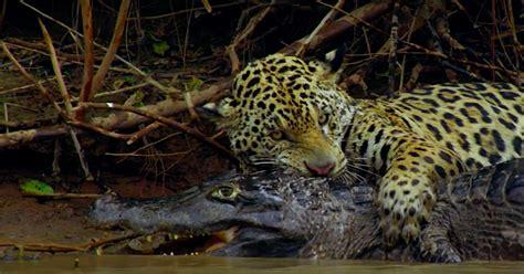 Jaguar Vs Caiman by Jaguar Takes Caiman In Tense