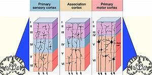 Diagram  Cerebral Cortex Layer Diagram Full Version Hd