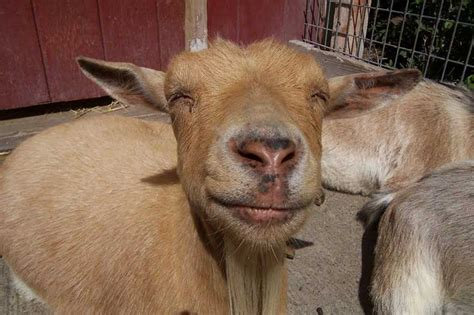 The Gallery For --> Ugly Goat Face