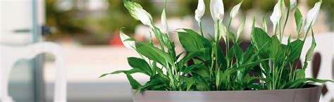 le rempotage des plantes d int 233 rieur