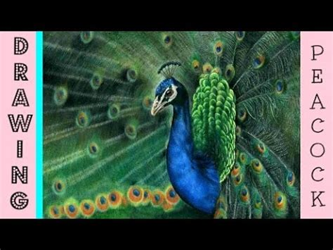 peacock speed drawing drawing  realistic peacock