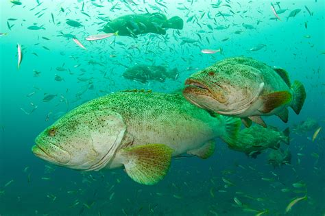 grouper goliath fish swimming display different super mizpah hover above current season shifting sometimes patterns between