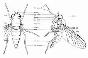 How To Identify Flies