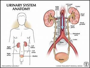 urinary | Urinary system | Pinterest