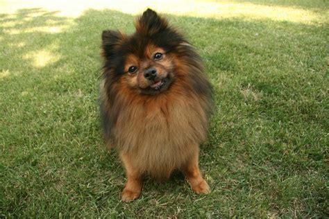 pomeranian information dog breeds  thepetowners
