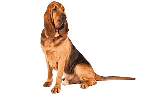 Bloodhound: Breed Information: Facts, Pictures