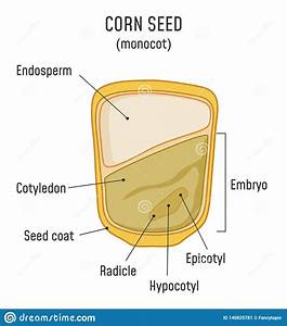 Corn Seed Structure Monocot Stock Vector