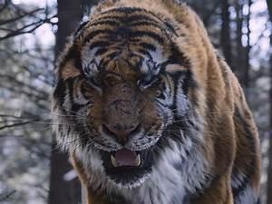 Book A Tiger Com : the tiger 2015 ~ Yasmunasinghe.com Haus und Dekorationen
