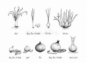 Parts Of Plant  Morphology Of Flowering Onion Plant With