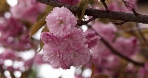 Sakura Baum Kaufen : rosa sch ne japanische kirsche bl te der sakura baum closeup am helllichten tag auf nat rlichen ~ Frokenaadalensverden.com Haus und Dekorationen