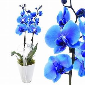 Orchideen Ohne Topf : orchidee im topf mit blauen bl ten von floraprima auf kaufen ~ Eleganceandgraceweddings.com Haus und Dekorationen