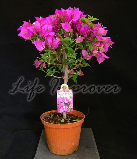 bougainvillea purple flower hoop tree in pot climbing