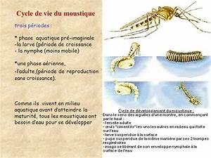 Qu Est Ce Qui Attire Les Moustiques : le moustique est un insecte ppt t l charger ~ Voncanada.com Idées de Décoration