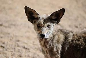 Coyote with Mange – What is it? - Foremost Coyote Hunting