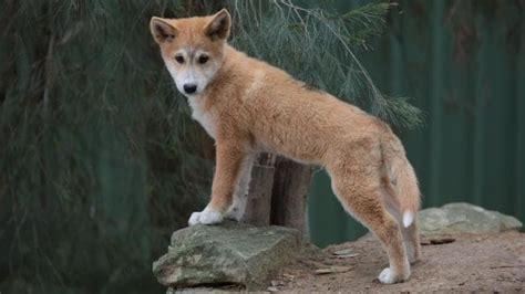 bargo dingo sanctuary preserves purebred dingoes
