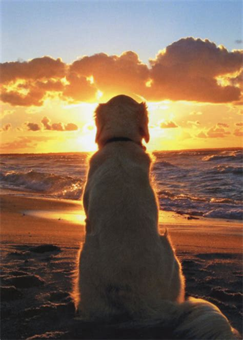 dog sitting  beach  sunset golden retriever pet