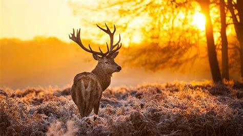 Reindeer Wallpaper Hd by Reindeer At Sunset Uhd 4k Wallpaper Pixelz