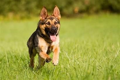 German Shepherd Dog 3d Wallpapers Running Backgrounds