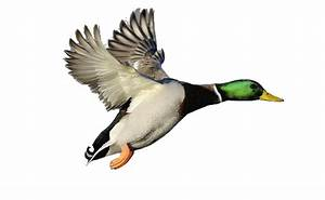 Large Mallard | Free Images at Clker.com - vector clip art ...