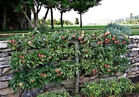 espalier apple trees colonial sense how to guides outdoors espalier trees modern instructions