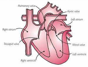 Your Heart Valves