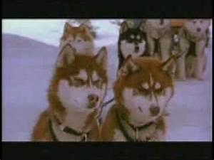 snowdogs kar köpekleri - YouTube