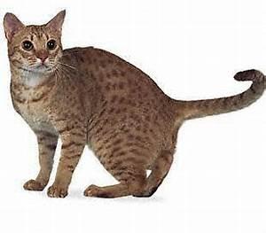 Ocicat Cat