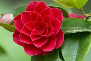 Camellia Japonica Winterhart : camellia japonica japanese camellia ~ Eleganceandgraceweddings.com Haus und Dekorationen
