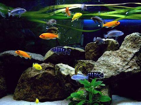 installation d 233 cor aquarium cichlid 233 s malawi