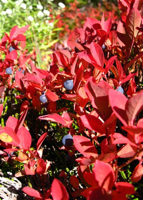 colorful shrubs true colors 9 best shrubs for fall foliage gardenista