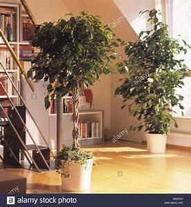 Pflanzen Für Gesundes Raumklima : birch figs stockfotos birch figs bilder alamy ~ Indierocktalk.com Haus und Dekorationen