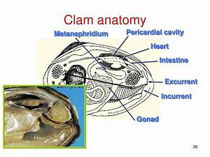 Diagram  Clam Internal Anatomy Diagram