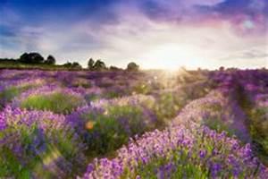 Lavendel Im Topf überwintern : lavendel niedrige sorten im berblick ~ Frokenaadalensverden.com Haus und Dekorationen