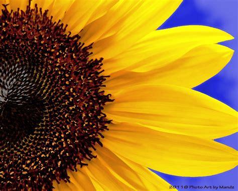 close  personal   sunflower