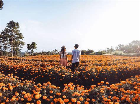 liburan romantis  seru  ladang bunga marigold bali