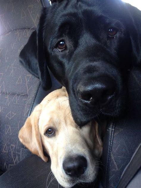 reasons   labrador  staring