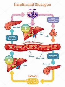 Insulin And Glucagon Vector Illustration Diagram