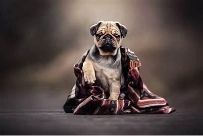 Pug Wrapped Klicken Dies Vorschau Eine Ist