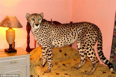 cheetah  behaves   domestic cat pets