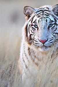 white tiger on Tumblr