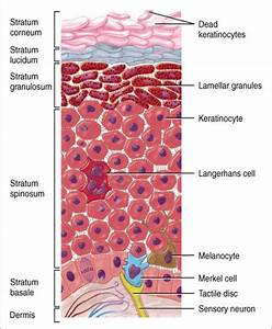 Science Articles  Introduction To Integumentary System